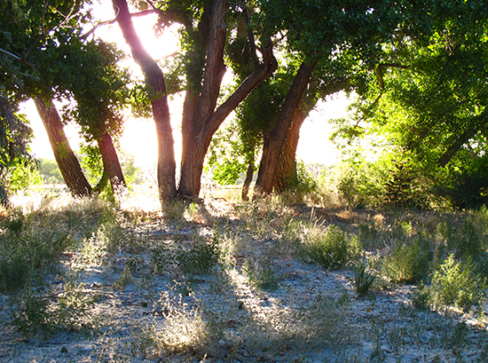 Photo of cottonwood trees in light
