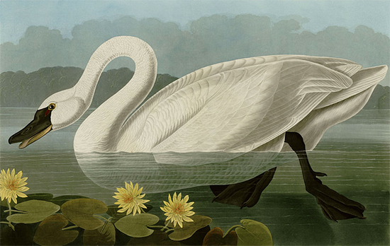 Common American Swan, John James Audubon