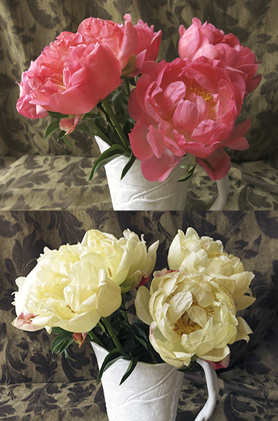 Coral Charm Peonies and Three Days Later