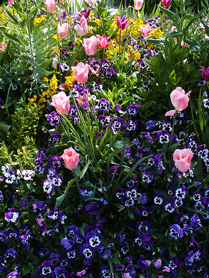Photograph of Pansies and Tulips in Monet's Gardens, Giverny, France, by Ann Trusty