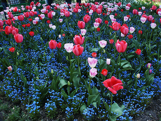Photo of Tulips in Monet's Gardens at Giverny