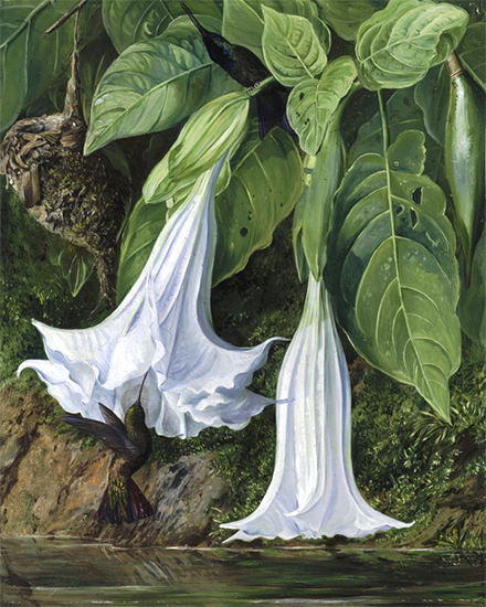 Datura and Hummingbird, Brazil, Marianne North