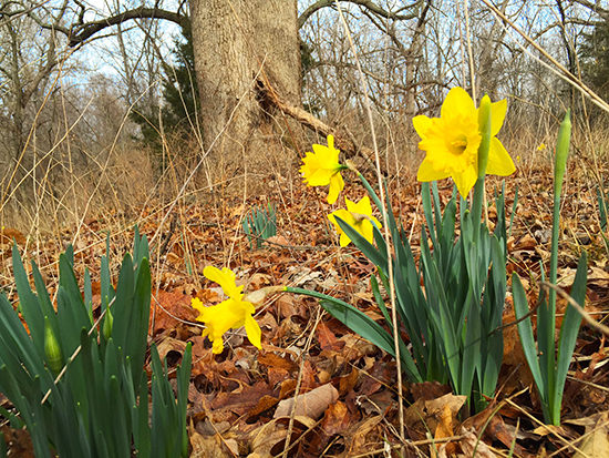Photo of Narcissus blooming in a wood