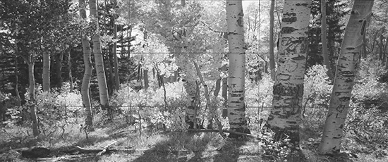 reference photo of aspens