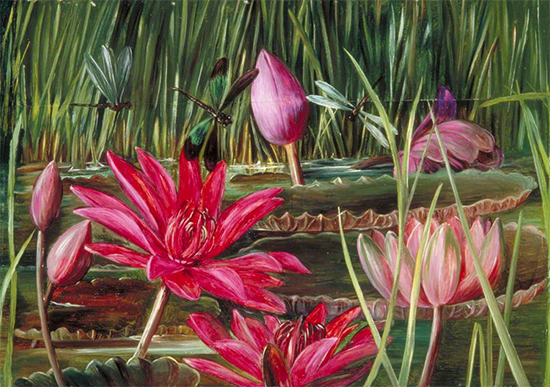 Red Water Lily of Southern India, 1878, Marianne North